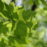 槭树年轻绿色叶子在晴天 库存照片