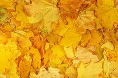 槭树黄色留下背景纹理 库存图片