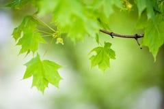 槭树 免版税库存照片