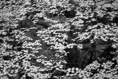 槭树 免版税图库摄影