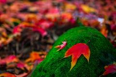 槭树 库存照片