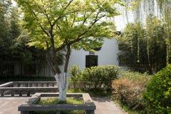槭树(Acer palmatum Thunb)和白色墙壁 图库摄影