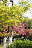 槭树(Acer palmatum Thunb)树 库存图片