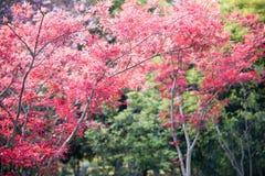 槭树(Acer palmatum Thunb)树 免版税库存照片