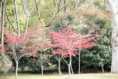 槭树(Acer palmatum Thunb)树 免版税库存图片