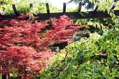 槭树(Acer palmatum Thunb)树 免版税图库摄影