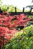 槭树(Acer palmatum Thunb)树 图库摄影