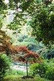 槭树(Acer palmatum Thunb)树 库存照片