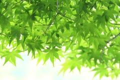 槭树leaf& x27; s年轻人叶子 图库摄影