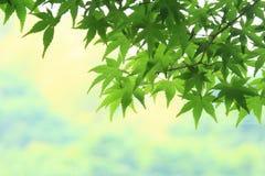 槭树leaf& x27; s年轻人叶子 免版税库存照片