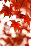 槭树seoraksan结构树 免版税库存图片