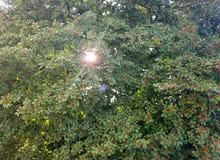 槲寄生叶子和莓果 免版税图库摄影
