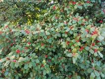 槲寄生叶子和莓果 免版税库存照片