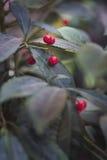 槲寄生用红色莓果 免版税图库摄影