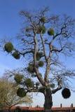 槲寄生结构树 免版税库存照片