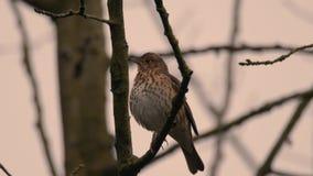 槲鸫唱歌在树的画眉类viscivorus