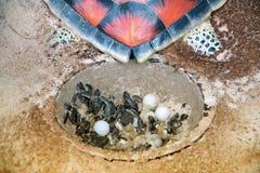 模型做了树脂一个婴孩绿浪乌龟和鸡蛋在孵化 免版税图库摄影