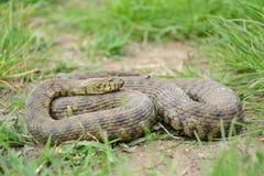 模子蛇(Natrix tessellata) 图库摄影