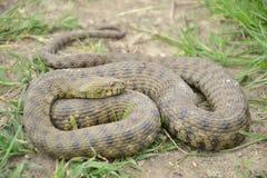 模子蛇(Natrix tessellata) 库存图片