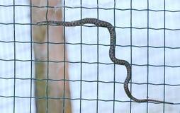 模子蛇Natrix tessellata异常的射击 库存图片