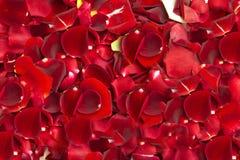 模式玫瑰 免版税图库摄影