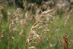 模糊干草的种子 库存图片