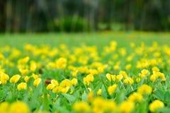 模糊的春天背景 背景蓝色云彩调遣草绿色本质天空空白小束 黄色花 库存图片