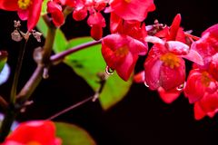 模糊的照片-在红色花在黑背景,与水下落的美丽的红色花的雨下落在雨,美好的自然以后 免版税库存图片