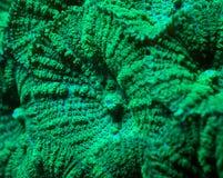 模糊的绿色蘑菇珊瑚充分的框架细节  库存图片