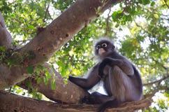模糊的软性和噪声暗淡的叶猴 库存照片