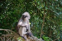 模糊的软性和噪声暗淡的叶猴 图库摄影