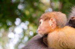 模糊的软性和噪声婴孩暗淡的叶猴 库存图片