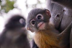 模糊的软性和噪声婴孩暗淡的叶猴 免版税库存图片