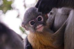 模糊的软性和噪声婴孩暗淡的叶猴 免版税库存照片