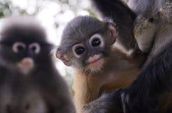 模糊的软性和噪声婴孩暗淡的叶猴 免版税图库摄影