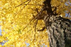 模糊的黄色银杏树树背景 免版税库存照片