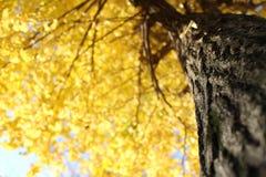 模糊的黄色银杏树树背景2 免版税库存照片