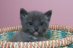 模糊蓬松锐化在上面的灰色4星期的平纹小猫  免版税库存照片