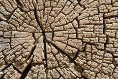 横剖面树干 免版税库存图片