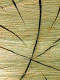 横剖面树干 免版税库存照片