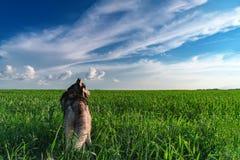 横向全景夏天 西伯利亚爱斯基摩人狗在透视的绿色领域站立对天际 蓝色覆盖天空白色 库存图片