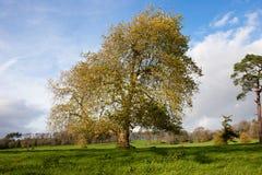 横向成熟美国梧桐结构树 库存图片