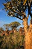 横向纳米比亚颤抖结构树 免版税图库摄影