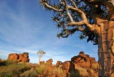 横向纳米比亚颤抖结构树 免版税库存图片