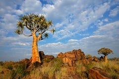 横向纳米比亚颤抖结构树 图库摄影