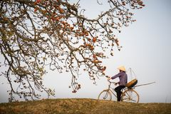 横向香水河越南视图 开花的木棉树木棉树或红色丝光木棉开花与循环在乡下dyle的妇女 免版税库存照片