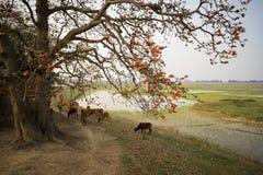 横向香水河越南视图 开花的木棉树木棉树或红色丝光木棉由有母牛牧群的古庙开花在乡下堤的 免版税图库摄影