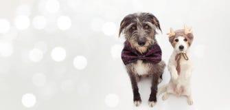 横幅两圣诞节狗 杰克罗素和戴一个方格的蝶形领结和驯鹿帽子的护羊狗 : 库存图片