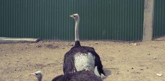 横幅两成人驼鸟在动物园居住 库存图片