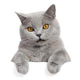 横幅猫灰色可爱 库存照片